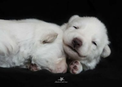 QUEEN ANNE'S 6 PUPPIES!!