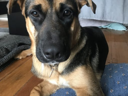Sweet Shepherd Rescue Australia | Rescuing Shepherd Dogs of All Ages
